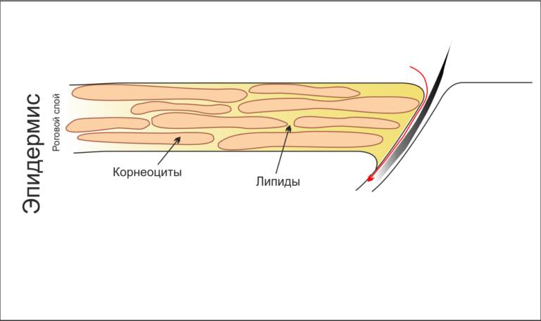 внешний слой кожи