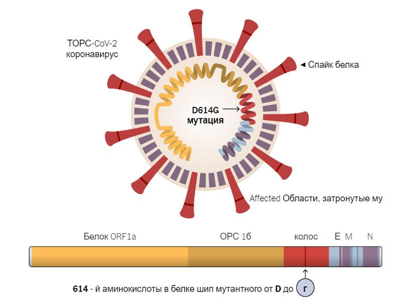 Мутация коронавируса D614G