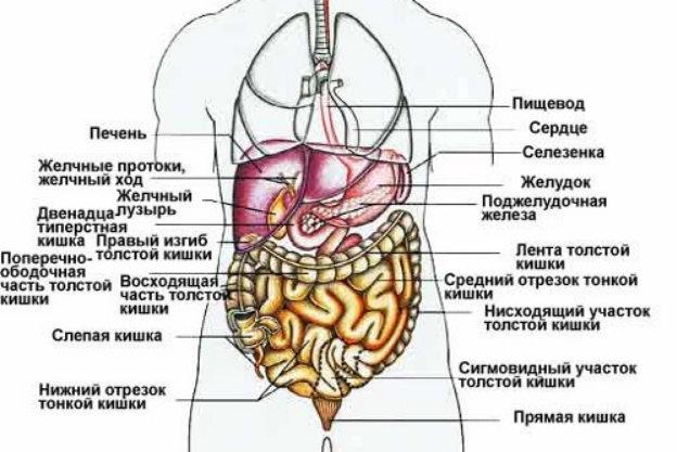 Органы левой части живота